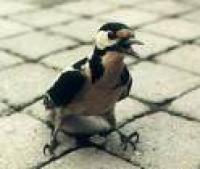dierenambulance_raamvogel